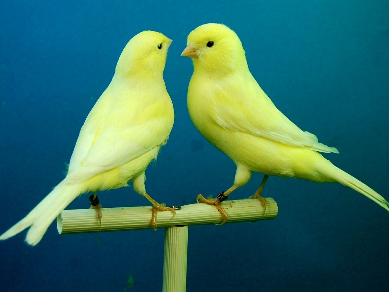 Two canaries jigsaw puzzle
