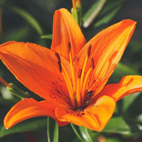 Orange Lily jigsaw puzzle