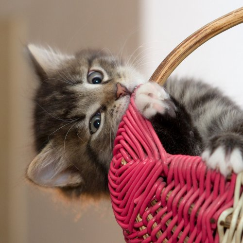 Kitten in a Basket Online Jigsaw Puzzle