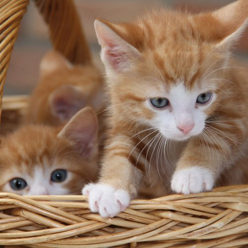 Red Kittens in a Basket Online Jigsaw Puzzle
