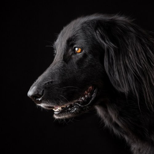 Black Dog Online Jigsaw Puzzle