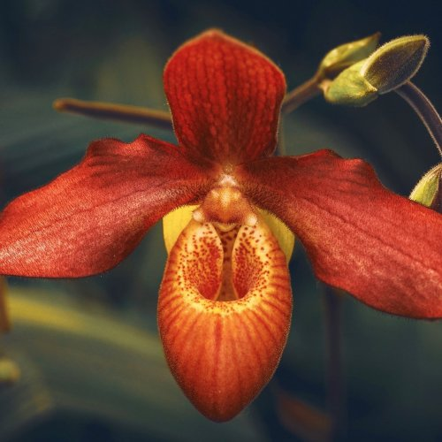 Red orchid jigsaw puzzle