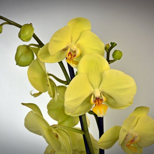 Yellow orchid jigsaw puzzle