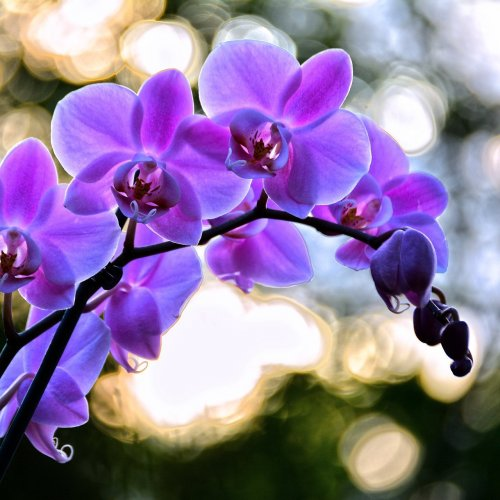 Lilac orchid jigsaw puzzle