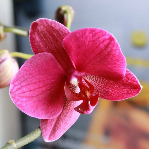 Blooming Orchid Jigsaw puzzle