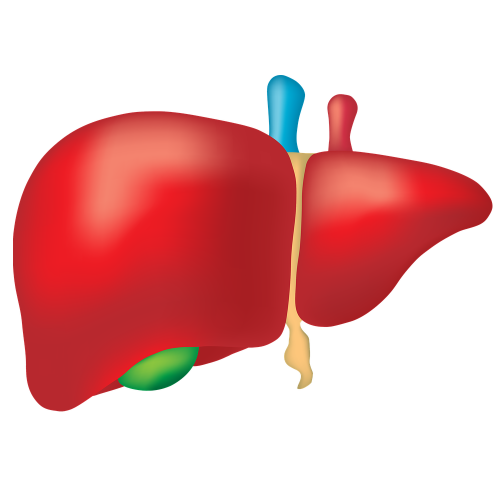 Liver Quiz: questions and answers