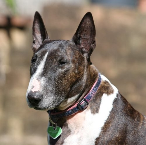 Bull Terrier Quiz: questions and answers