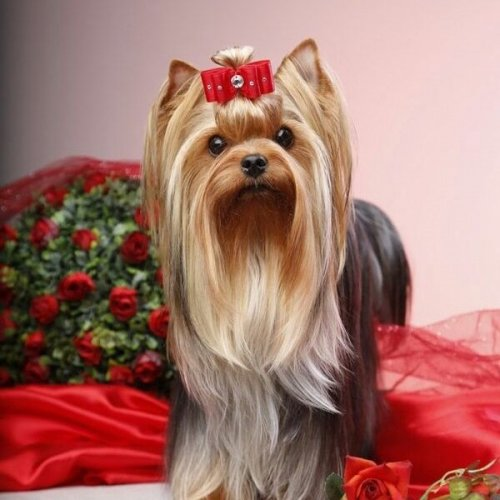 Yorkshire Terrier Quiz: questions and answers